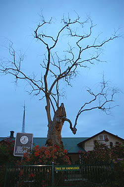 Tree of Knowledge in 2007 after being poisoned in 2006
